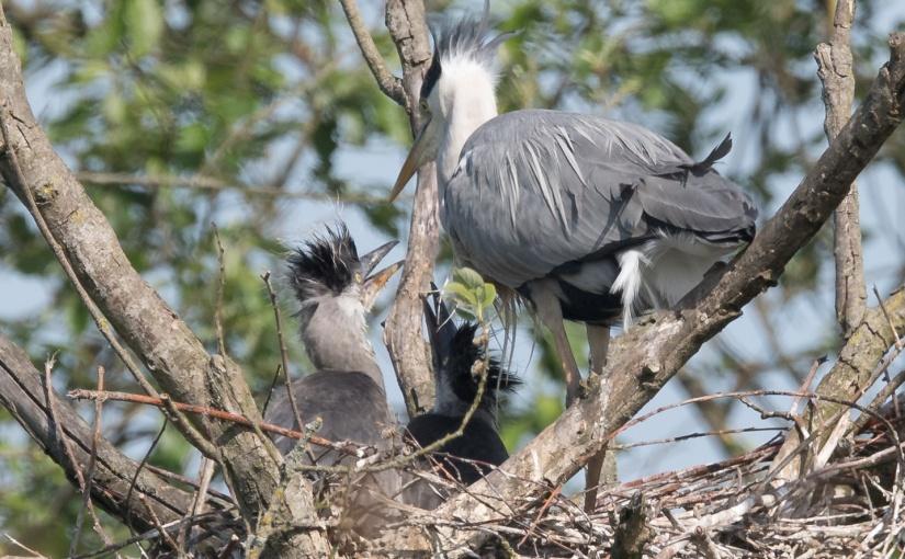 Une nidification de Hérons cendrés àPécrot