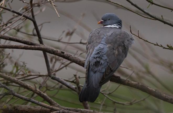 Pigeon ramier - Danièle Lafontaine