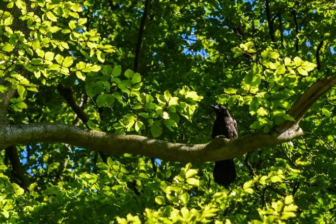 Grand Corbeau juvénile - Hans Roosen - Forêt de Meerdael