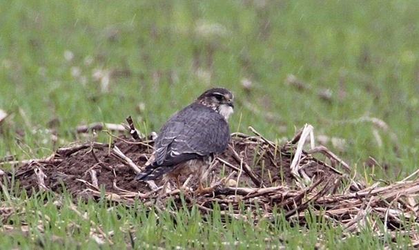 Faucon emerillon - Falco columbarius 2009-11-06 Houtain-Le-Val Pierre Melon