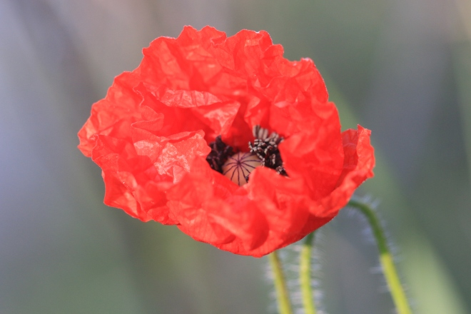 coquelicot Thierry 9426