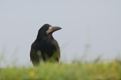 corbeau freux patc