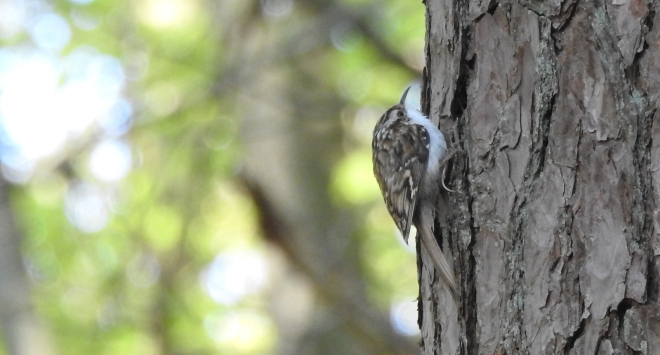 Grimpereau des bois - Hilde Vandevoorde - La Hulpe