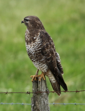 Buse variable-C Daout